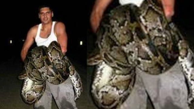 News video: Largest Python Ever Killed in Florida